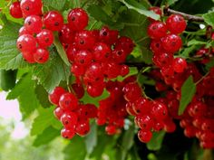 Redcurrant Ripe and Fresh Organic Red Currant Berries Growing Fruit Garden, Garden Pool, Currant Berry, Raspberry, Strawberry, Delicious Fruit, Bellisima, Shrubs, Outdoor Gardens
