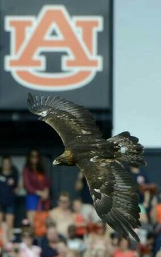 One of the most thrilling pre game traditions in America, Eagle flight! Auburn, AL Auburn Game, Auburn Football, College Football Teams, Auburn Tigers, Auburn Vs, Football Parties, Football Uniforms, Alabama Football, Football Fans
