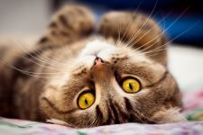 #Brown #Cat #Lying #Animal #Full #Free #Wallpaper #Wallpapers #4K #HD #Mobile #Desktop #Phone #Iphone #Android #1920x1080 #1080p
