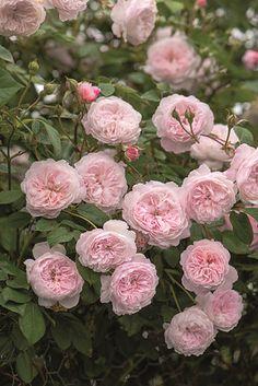 Rose The Albrighton Rambler (im grossen Container)