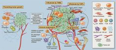 Micro-environmental regulation of tumor progression and metastasis: -