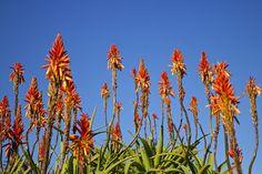 la-saison-des-fleurs-au-cap-afrique-du-sud-jardin-botanique-de-harold-porter-blog-voyage Sud Est, Table Mountain, Blog Voyage, Flower Show, Cape Town, Continents, Wild Flowers, Nature, Painting