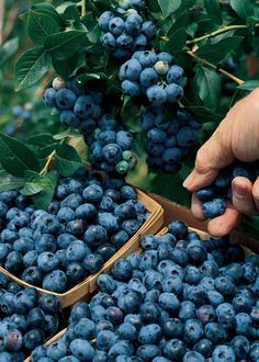 Here's the scoop on growing berries in Ohio - Farm and Dairy - Modern Design Nature Aesthetic, Aesthetic Food, Agriculture, Fruit Photography, Fruit Trees, Fruits And Vegetables, Farm Life, Fresh Fruit, Vegetable Garden