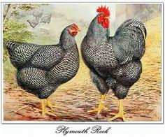 Plymouth rock hen and cock. The real farmers' bird. more on: https://eggincubatoreu.wordpress.com/2016/08/16/plymouth-rock-chicken/