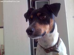 Smooth Fox Terrier, 2, Tri colour, White, black and tan.