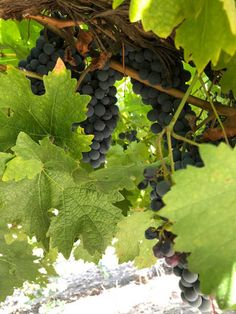 Growing grapes can be complex, but the basics are universal. Our epic grower's guide will help you start your own home vineyard! Grapevine Growing, Grape Trellis, Grape Plant, Fruit Bushes, Herb Pots, Growing Grapes, Herb Garden, Evergreen, Grape Vines