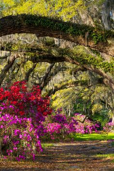 Photo about Charleston SC Spring Bloom Azalea Flowers South Carolina Plantation Garden under live oaks and spanish moss. Image of outdoors, live, charleston - 30789390 Hilton Head Island, Charleston Tours, Mississippi River Cruise, Hilton Head South Carolina, Parks, Travel Usa, Solo Travel, Travel Tips, Paisajes