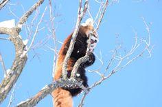 木の上にいるホクト red panda レッサーパンダ 円山動物園