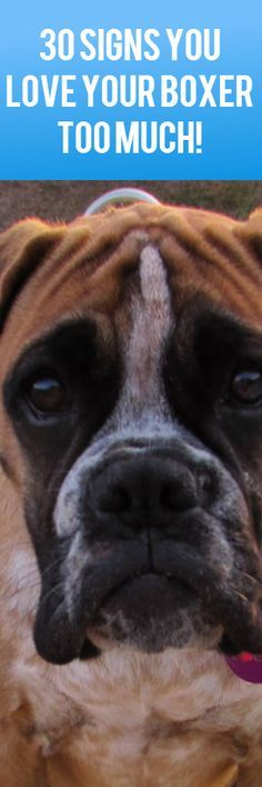 Scientifically proven signs you love your Boxer... Too much! [Like that's even possible!] #Boxer https://bullymake.com/30-signs-that-you-love-your-boxer-too-much/