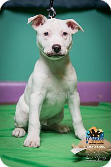 Evansville, IN - Boxer/Shepherd (Unknown Type) Mix. Meet Stache, a puppy for adoption. http://www.adoptapet.com/pet/14813137-evansville-indiana-boxer-mix