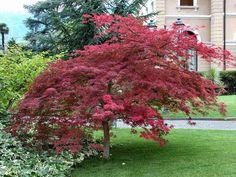 erable-Japon-Dissectum-Atropurpureum-rouges-feuilles