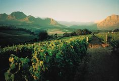 Neethlingshof wine estate... the magic of the Cape Vineyards. http://on.fb.me/1p3z0Py
