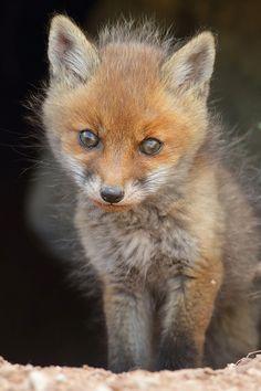 Fuzzy Little Fox Kit