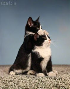 1960s TWO BLACK AND WHITE TUXEDO CAT KITTENS IN FUNNY POSE