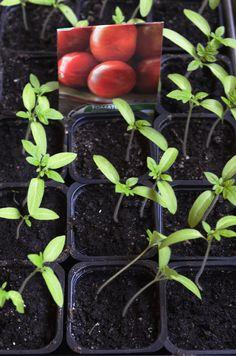 Tomatersmå Vegetables, Food, Veggies, Vegetable Recipes, Meals, Yemek, Eten