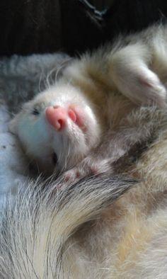 *-* ferrets are my FAVORITE!!!!