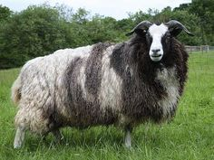 Jacob sheep are prized for their luxuriant wool, which ranges from nearly white to nearly black.