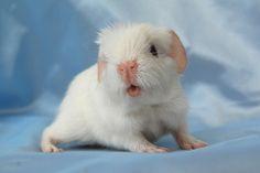baby guinea pig!!!