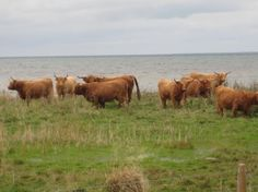 Highland cattle at a seaside meadow Highland Cattle, Countryside, Seaside, Nature, Animals, Animais, Naturaleza, Animales, Animaux