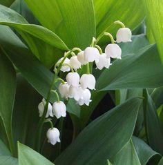 Come coltivare mughetto in vaso o in giardino. Vediamo quando piantare i bulbi, come si cura il mughetto e quando fiorisce.