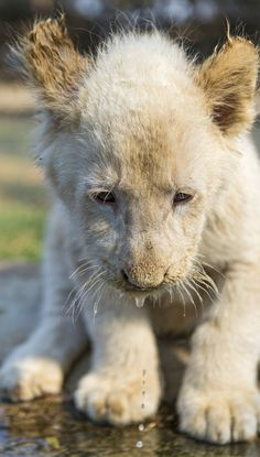 Shy white lion cub