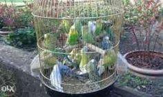 Papugi NIMFY i faliste!