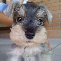 ~~ Schnauzer Baby ~~ Schnauzer Mix, Schnauzers, Schnauzer Grooming, Miniature Schnauzer Puppies, Standard Schnauzer, Miniature Dogs, Fox Terriers, I Love Dogs, Cute Dogs