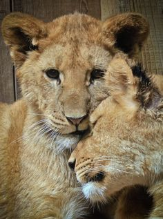 Baby Lion Cubs, Lions Photos, Big Cats, Creatures, Yoko, Wild Things, Kitty Cats, Tigers, Photograph