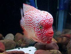 Flowerhorn Red Texas