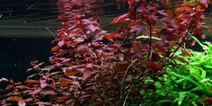 Ludwigia palustris - This cosmopolitan stem plant turns red easier and is smaller than the well-known Ludwigia repens 'Rubin'.  Each stalk becomes 2-4cm wide and 10-30cm high. The plant willingly creates side shoots, but cutting increases the amount and leaves the plant even closer. The cut-off shoots can be replanted and they quickly generate new roots.  The plant becomes intensely red and grows better, when placed in light and with added CO2.     Plant info Type:Stem…