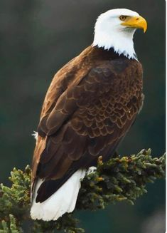 ♂ Wildlife and animal photography - bird bald eagle Pretty Birds, Beautiful Birds, Animals Beautiful, Cute Animals, Exotic Birds, Colorful Birds, Aigle Animal, Eagle Painting, Eagle Art