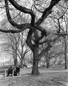 American Elm, Central Park, New York, 2011