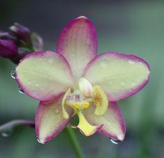 Nombre:  Spathoglottis Kimballiana x Seletar Park.jpg Visitas: 3573 Tamaño: 99.1 KB