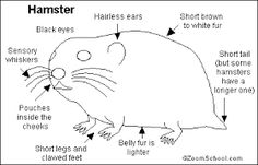 Hamster Coloring Page Coloring