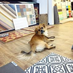 Tile shopping for clients with my lazy assistant . Lazy, Choices, Tiles, Interiors, Flooring, Ceramics, Interior Design, Dogs, Animals