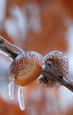 Frozen Acorn Shells by NateFischPix - Nathan Fischer