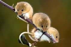 Harvest Mouse (Micromys minutus) | Flickr - Photo Sharing!