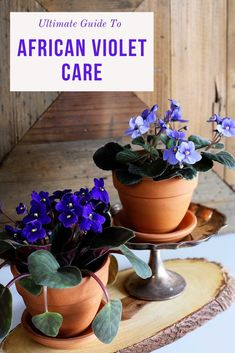 African Violet Care Learn how to care for African violet plants. This compact flowering houseplant has gorgeous flowers and wonderful foliage! Big Indoor Plants, Indoor Flowering Plants, Indoor Flowers, Small Plants, House Plants Decor, Plant Decor, Violet Plant, Plant Care, African Violet