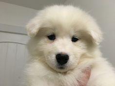 My new polar bear dog!!! We're naming her Sophia. Born 10/16/16.