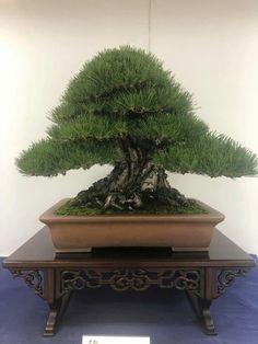 Pine Bonsai, Bonsai Garden, Planter Pots, Gardening, Landscape, Scenery, Lawn And Garden, Corner Landscaping, Horticulture