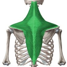 This article covers the anatomy of the trapezius muscle, including its origins, insertions, innervation, and actions. Learn more about it at Kenhub! Muscle Anatomy, Body Anatomy, Anatomy Study, Anatomy Drawing, Body Reference, Anatomy Reference, Back Brace For Posture, Skeleton Muscles, Human Anatomy For Artists