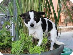 Fort Myers, FL - Chihuahua. Meet JIMMY, a dog for adoption. http://www.adoptapet.com/pet/15071396-fort-myers-florida-chihuahua