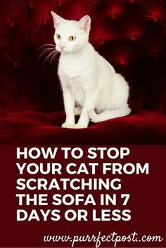 The good news is that you absolutely can get your to stop scratching your sofa. In fact, you can do it in 7 days or less according to popular veterinarian Dr. Christianne Schelling in this article. This did NOT work with my cat. I Love Cats, Crazy Cats, Cool Cats, Singapura, Cat Care Tips, Pet Care, Pet Tips, Kitten Care, Cat Behavior