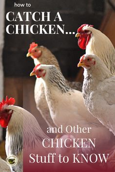 Answers to questions about chickens. Raise chickens for eggs or raise poultry for meat. A beginner's guide to chickens. Backyard chickens give eggs and will keep bugs away too. #catchachicken #raisingchickens #hens #chickensforeggs #chickenquestions Raising Backyard Chickens, Cute Chickens, What To Feed Rabbits, Chicken Story, Question And Answer, This Or That Questions, Keep Bugs Away, Chicken Pictures, Chicken Humor