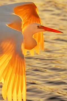 Photo by Graham Owen ~ A Great Egret glowing like a Phoenix in the sunset.  Absolutely lovely.