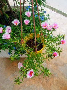 Exotic Flowers, Beautiful Flowers, Portulaca Grandiflora, Alcohol Aesthetic, Good Morning Cards, Ice Plant, Hanging Plants, Wedding Bridesmaids, Houseplants