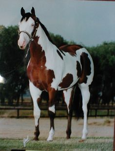 Perfectly Bold. '92 APHA bay overo stallion.