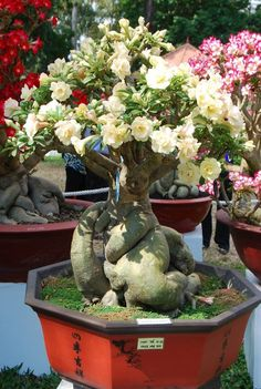 Adenium Bonsai - here a white flowering.  I think it's important that the tree be allowed to gain enough size to reasonably match the flower size.  To me they look silly to have a tiny plant with /huge/ flowers but that can't be helped when they are young.