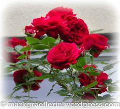 Garten Mai 13 Mai, Roses, Plants, Watering Plants, Rain Drops, Lawn And Garden, Pink, Rose, Flora