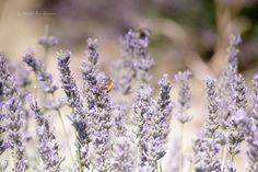 Lavender and Lavandin